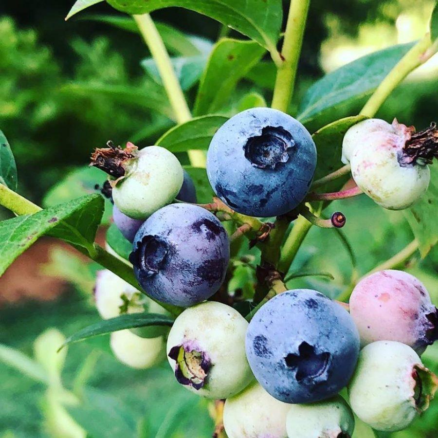 Blueberries ripen on a bush in Saginaw, Missouri on the Robertson Family Farm.